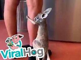 Kangurek domaga się mleczka