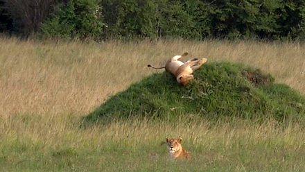 Lew wie, jak dobrze się bawić