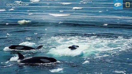 Orki polujące na fokę przy pomocy fal
