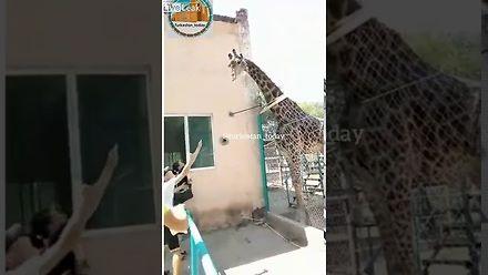 Pijany jeździł na żyrafie