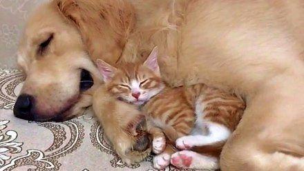 Golden i mały kotek