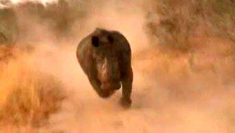 Dlatego nosorożce są takie groźne
