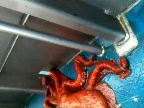Zwinna i gibka ośmiornica przeciska się przez wąską dziurę