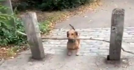 Mały psiak walczy z dużym patykiem