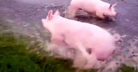Świnki na wolnym wybiegu wyglądają na bardzo szczęśliwe