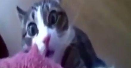 Kot zasmakował w jamajskiej kocimiętce