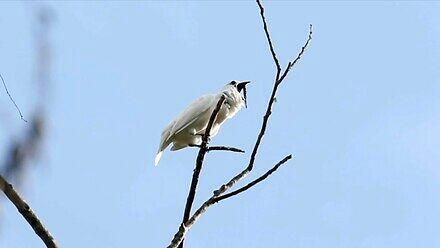 Dzwonnik biały - najgłośniejszy ptak świata