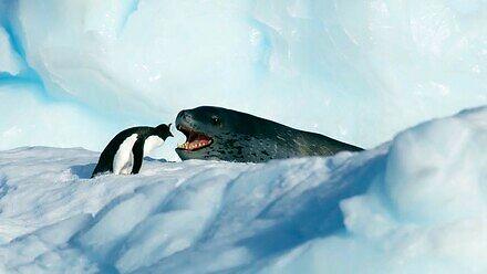 Pingwin kontra lew morski