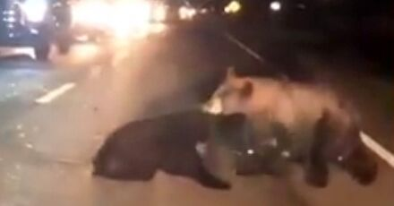 Niedźwiedzie próbują ratować małego potrąconego przez samochód