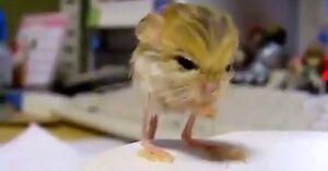 Trąbkouszek - najmniejszy gryzoń świata