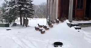 Pierwsze spotkanie kaczek ze śniegiem