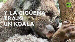 Dawka słodyczy, czyli mały koala z bliska