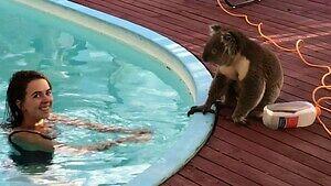 Koala wpadł na basen... napić się wody