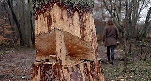 Jak wikingowie ścinali duże drzewa?