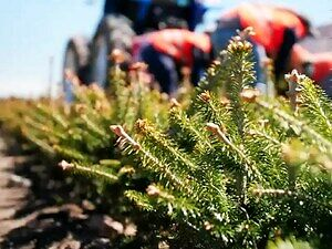 Jak wygląda proces uprawy świątecznych choinek?