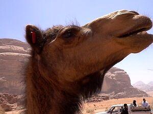 Polaka słów kilka o wytrwałych, garbatych skurczybykach, czyli z kamerą wśród wielbłądów