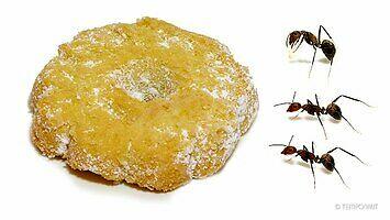 Co stanie się z ciasteczkiem, jeśli dopadną je mrówki