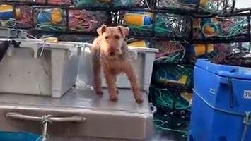 Pies-marynarz dobrze sobie radzi na wzburzonym morzu