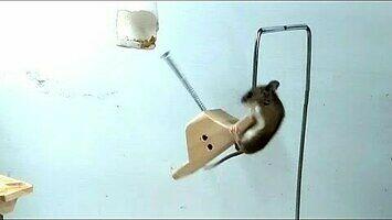 """""""Ninja Warrior"""" dla myszy"""