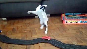 Kot zwariował na punkcie tego samochodzika