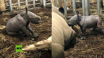 Jak wyglądają narodziny białego nosorożca?
