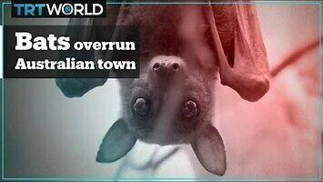Inwazja nietoperzy na australijskie miasteczko