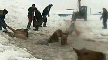 Ratowanie koni, które wpadły do lodowatej wody