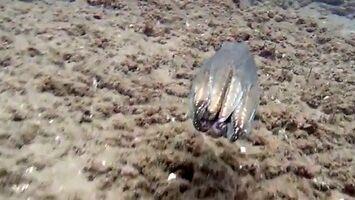 Ośmiornica - morski transformers