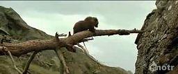 Pojedynek niedźwiadka z lampartem