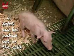 Gdy śwince jest zimno...
