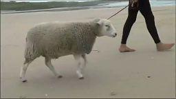 Surfująca owca